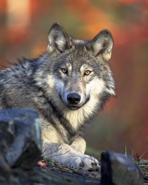 wolf-62898_640.jpg